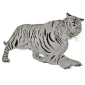 White tiger hunting — Stock Photo