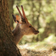 Doe behind a trunk — Stockfoto