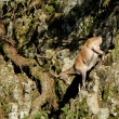 Ibex going down the rocks — Stock Photo