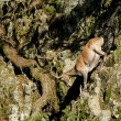 Ibex going down the rocks - Stock Photo