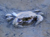 Crab in water — Stockfoto