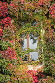 Window and ivy — Stock Photo