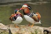 Madarin ducks — Stock Photo