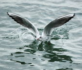 Seagull landing on water — Stock Photo