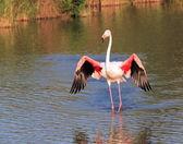 Flamingo wings open — Stock Photo