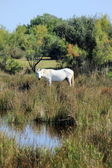 Horse in Camargue, France — Stock Photo