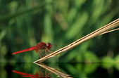 Scarlet dragonfly, Camargue, France — Stock Photo