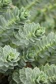 Myrtle Spurge - Euphorbia myrsinites — Stock Photo
