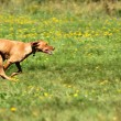 Stock Photo: Speedy rhodesiridgeback