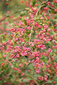 Spindle tree (euonymus europaeus) — Photo