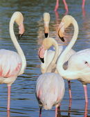 Flamingos meeting — Stock Photo