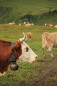 牛と緑の草 — ストック写真
