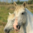 White camargue horses, France — Stock Photo