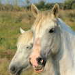 Stock Photo: White camargue horses, France