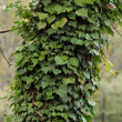 Stock Photo: Ivy on the trink