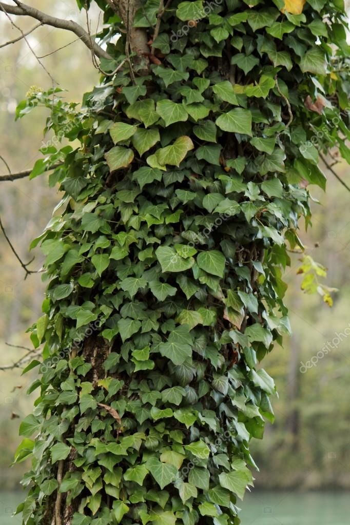 Lots of green ivy slimbing on a tree trunk — Stock Photo #16878575