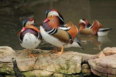 Canards mandarin — Photo