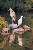 Heron and egret — Stock Photo