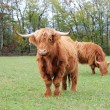 Highland cows in the meadow - Stockfoto