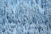 Close up on winter fir trees woods — Stock Photo