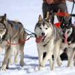 A husky sled dog team at work - Stock Photo