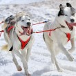 A husky sled dog team at work — Stock Photo