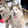A husky sled dog team at rest - Stock Photo