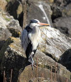 Heron on a rock — Stock Photo