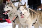 A husky sled dog team at rest — Stock Photo