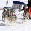 Husky sled dog team at work - Stock Photo