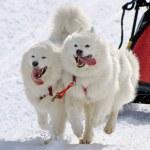 Samoyed sled dog team at work — Stock Photo #23183558