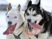 Husky sled dogs at work — Photo