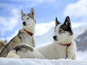 Siberian husky dog in the snow — Stock Photo