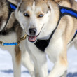 Husky sled dog at work - Stock Photo