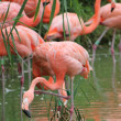 Flamingos - Stock Photo