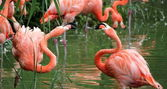 Flamingos fight — Stock Photo