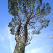 Umbrella pine, south Europe - Stock Photo
