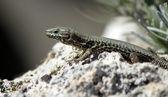 Lizard on a stone — Stock Photo