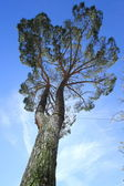 Umbrella pine, south Europe — Stock Photo