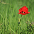 Poppy in nature — Stock Photo