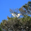 Herons in a tree, Camargue, France - Stock Photo