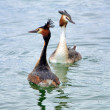 Red crested grebe duck parade — Stock Photo