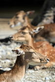 Deer fallow heads — Stock Photo