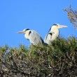 Herons in a tree, Camargue, France — Stock fotografie