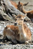 Peaceful doe — Foto Stock