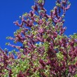 Judas tree — Stock Photo