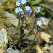 Stock Photo: Blue forget-me-not flowers (Myosotis)