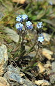 Blue forget-me-not flowers (Myosotis) — Stock Photo