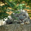 Snow leopard's resting — Stock Photo #28926401