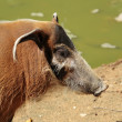 Stock Photo: Red river hog or potamochoerus portrait
